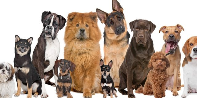 Most Common Dog Breeds Susceptible to Dog Knee Surgery