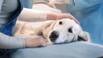 How to Prepare Your Dog for TPLO Surgery and Recovery
